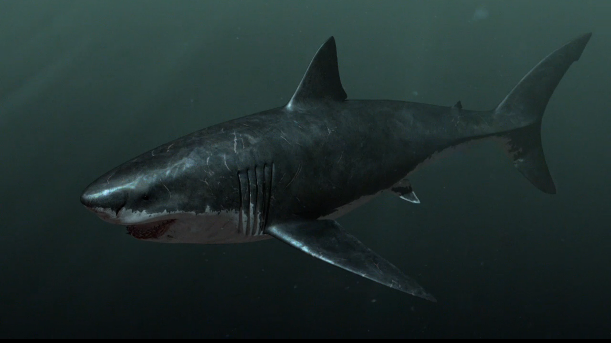 """At more than 60 feet long, megalodon — (literally """"big tooth"""") — was the top predator in the ..."""