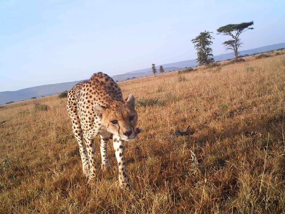 7a68fb34d46b4d These adorable camera trap images from the Serengeti reveal what life is  like for cheetahs