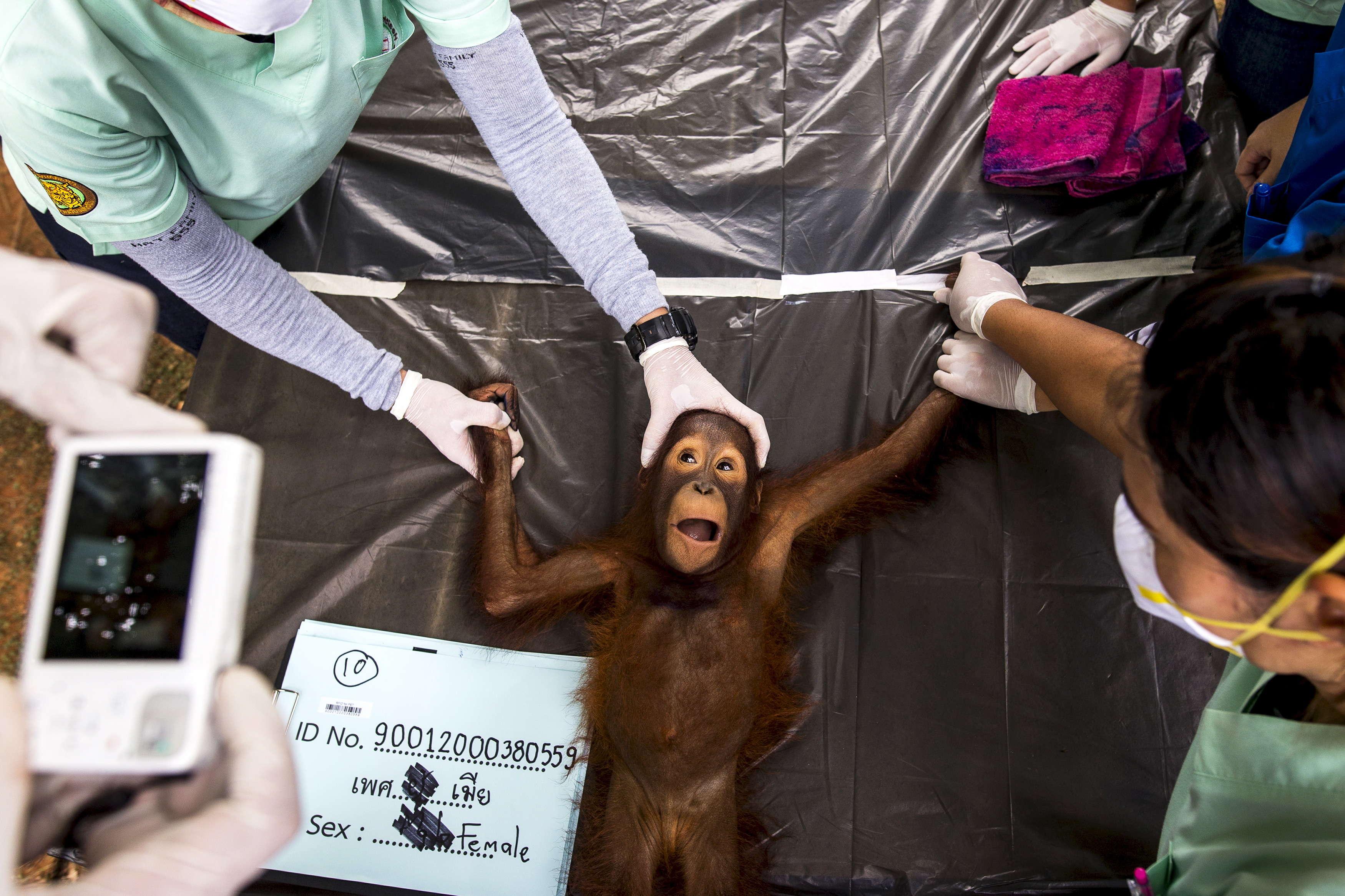 Секс рассказы с орангутаном 14 фотография