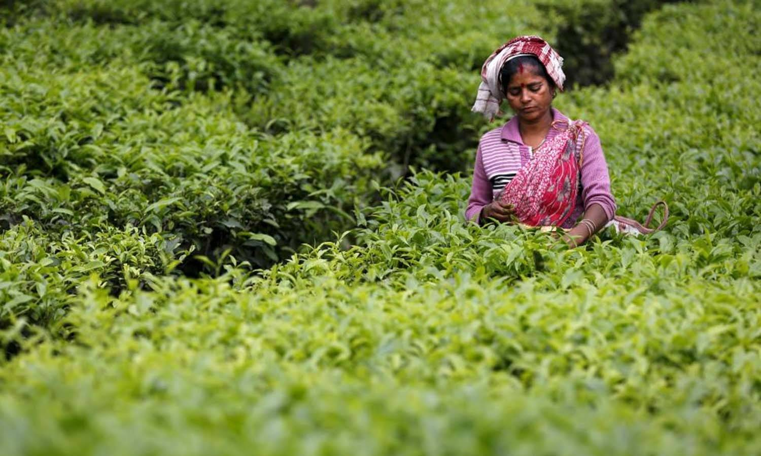 India might revive tea exports to Iraq as sanctions on trade with Iran loom