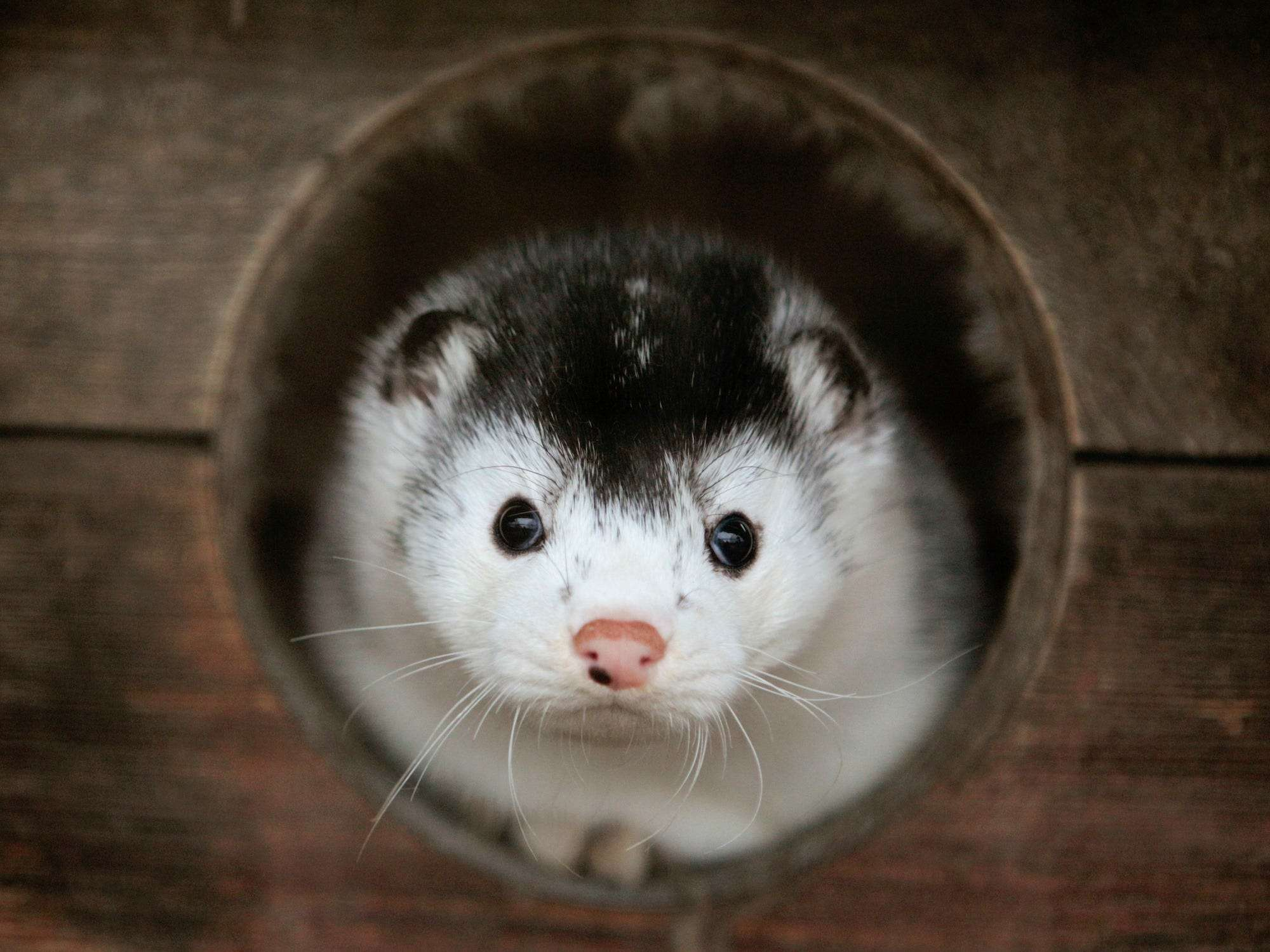 Dutch Order 10k Mink Culled Because Of Covid 19 But Deaths Postponed Business Insider