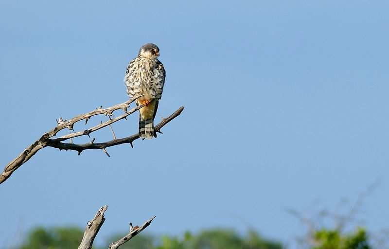Two tagged Amur falcons, world's longest travelling bird, return back to Manipur after flying 29,000 km for over a year