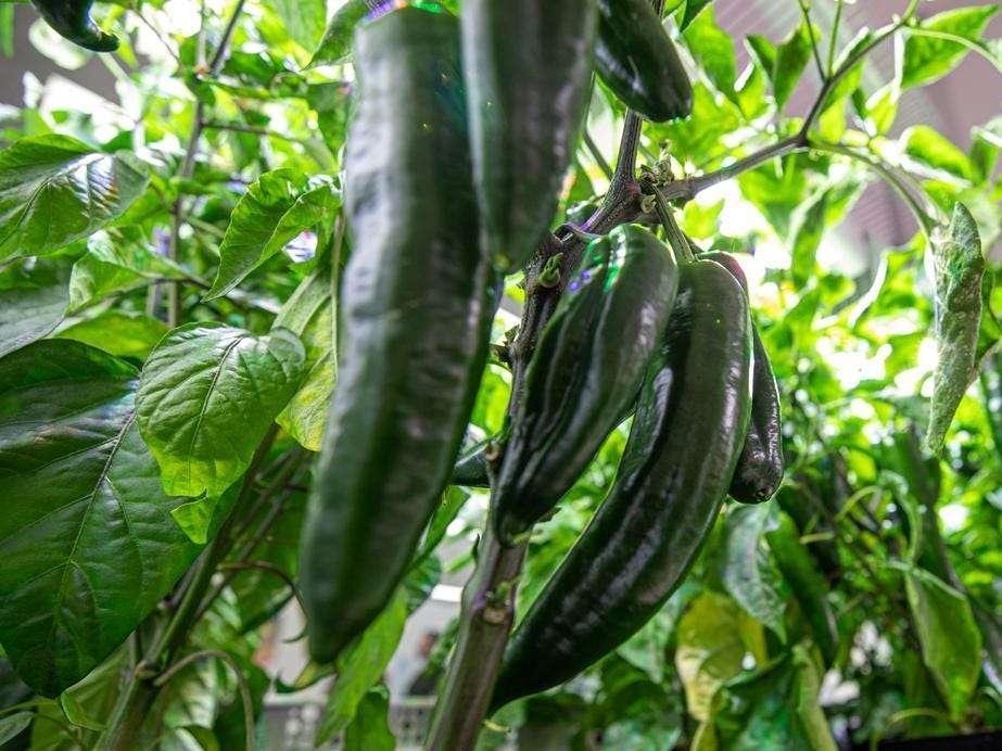 Los astronautas de la NASA a bordo de la Estación Espacial Internacional han comenzado a cultivar chiles en un esfuerzo por impulsar la dieta de las tripulaciones de vuelo en misiones futuras.