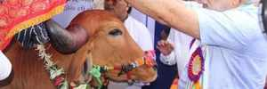 India Inc's CSR now includes cow service and upkeep