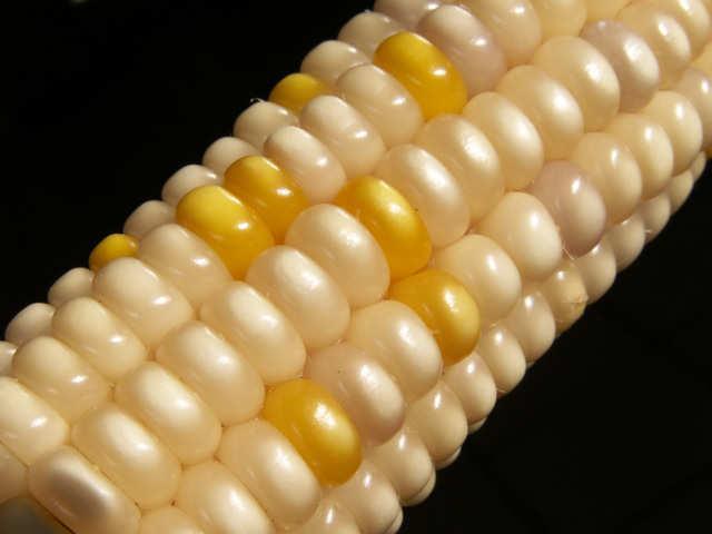 Unlike Sweet Corn Glass Gem Corn Isn T Generally Eaten Off The