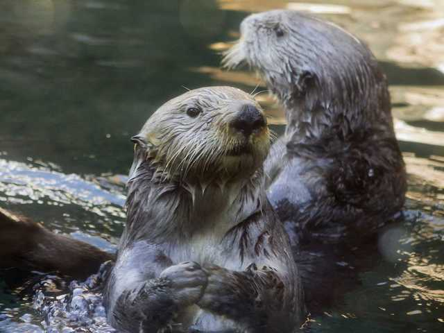Sea otters live in kelp forests on the coasts of the Northern Pacific Ocean, and often hold hands to keep from drifting away from each other. They float on their backs to crack open shellfish with rocks, making them one of the few species of mammals to use tools.