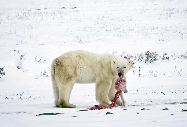 Melting ice is a major problem because of its contribution to sea level rise, but it also affects wildlife in all kinds of ways. Polar bears are the poster child for changing conditions in the Arctic. As their frozen hunting grounds melt away, some polar bears — like this one — are turning to cannibalism and eating their own cubs.