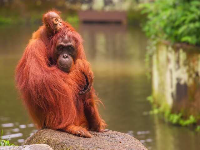 At the Singapore Zoo, you can see otters, pygmy hippos, giant crocodiles lions, zebras, and rhinoceroses, and even have a breakfast in the company of orangutans.
