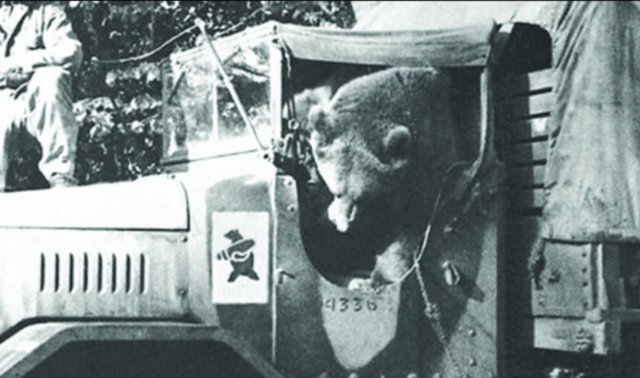 While he was still small enough, Wojtek would hang out of the passenger side of trucks, until he eventually grew so large he had to be transported in the back of cargo vehicles.
