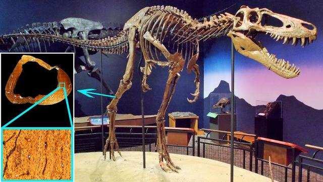 Bones show that T.rex went through growth spurt