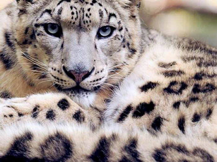 Tigers, leopards, and snow leopards for their fur